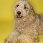 Goldendoodle Puppies - More than Just Cutesy