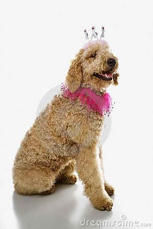 Golden Doodle & Irish Doodle Puppies