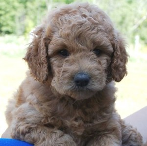 Golden Doodle & Irish Doodle Puppies