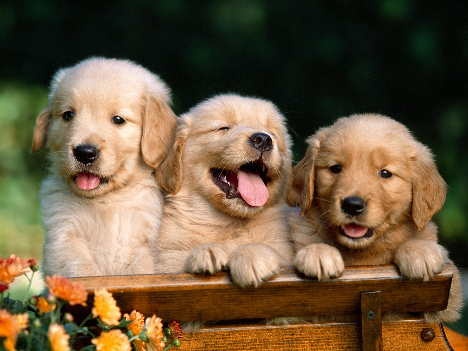 Picture of 3 cute golden retrievers