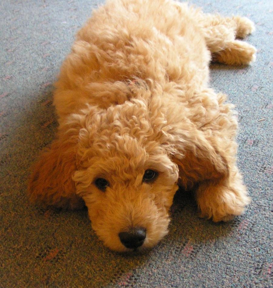 Golden Doodle Irish Doodle Puppies