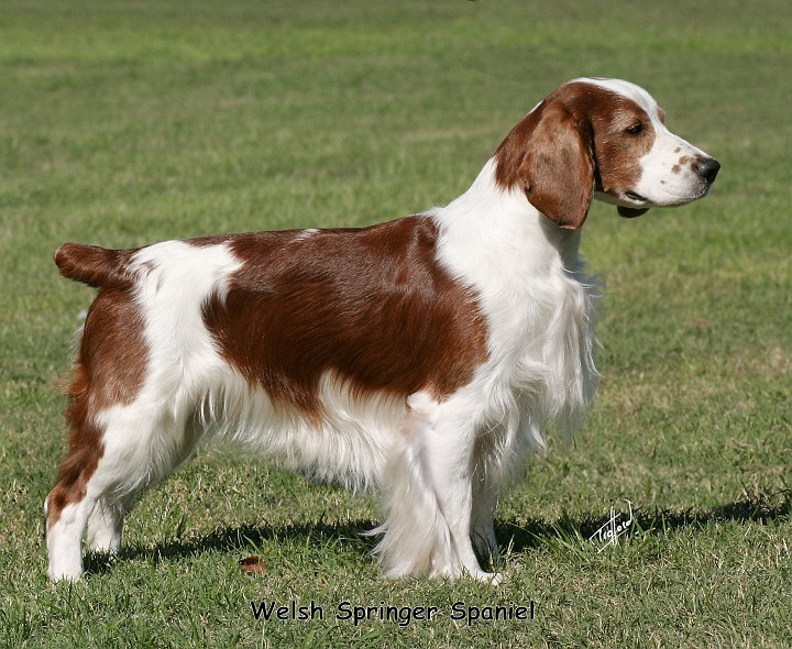 Picture of a beautiful Welsh Springer Spaniel