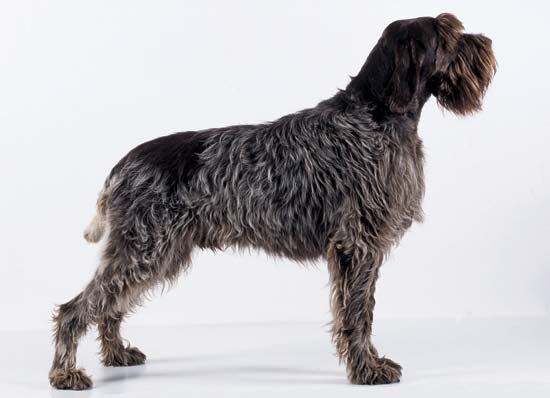 Picture of a wirehaired pointing griffon