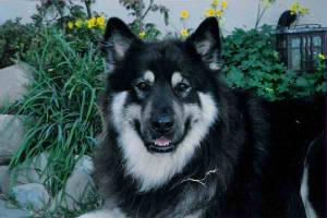American Alsatian Dog Breed