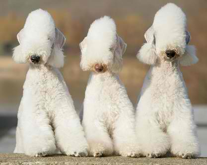 Funny looking Bedlington Terrier Dogs