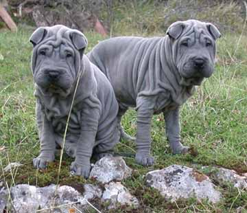 Picture of a Chinese Shar-Pei Dog Breed