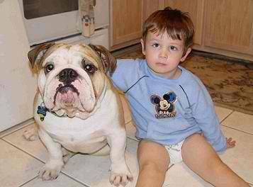 Picture of English Bulldog breed