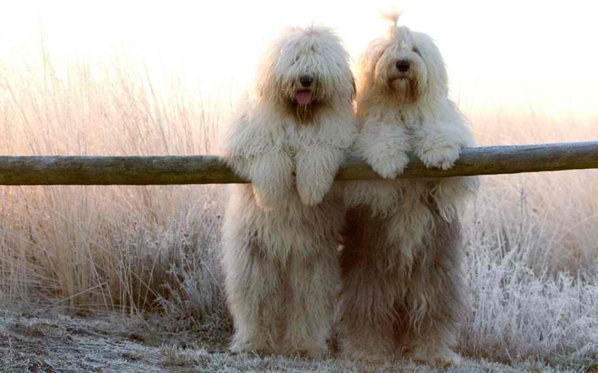 Big Fluffy Old English Sheepdog