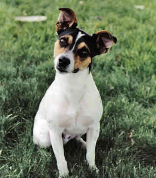 Picture of a Rat Terrier dog breed