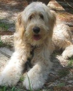 Picture of F2B Goldendoodle