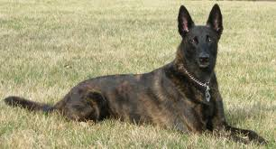 Picture of a Dutch Shepherd