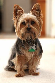 Cute Yorkie dog breed