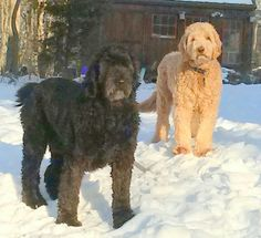 Beautiful Goldendoodle coat types - 2 different colored goldendoodles