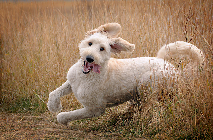 Picture of Goldendoodle having fun running